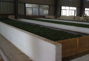 Troughs of wilting Qimen tea leaves about 2-3 inches thick.
